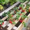 Biji Bibit Benih Buah Strawberry Merah Organik Segar