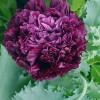 Benih Bibit Biji Bunga Purple Peony Giant