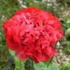Benih Bibit Biji Bunga Red Peony Giant