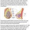 Pengencang Payudara & Cegah Kanker Payudara   ORIS BREAST CREAM