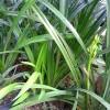 Tanaman Anggrek Cymbidium Hybrid