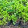 Tanaman Bahan Bonsai Cemara Chinensis Hijau