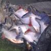 Waring Ikan Benang Single