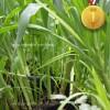 Bibit Rumput Odot untuk Tanaman Hias dan Pakan Ternak