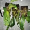 Bulbophyllum lobbii (ukuran 1 pakis)