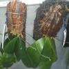 Phallaenopsis modesta