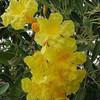 Bibit Biji Benih Bunga Tabebuia