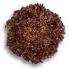 100 Pil - Louxal RZ - Benih Lettuce/Selada Batavia (Rijk Zwaan)