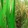 Fungisida Penambah Bobot Buah Explore 250EC