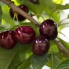 Benih Cherry Hitam Manis / Black Sweet Cherry (Import)