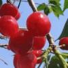 Benih Cherry Mutiara Merah / Red Pearl Cherry (Import)