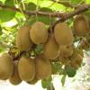 Biji Bibit Benih Buah Kiwi Sungold Berkualitas Import