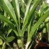 Grammatophyllum scriptum (dewasa siap berbunga)