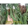 Tanaman Tanduk Rusa 3 Titik Rimbun (10-12 daun)