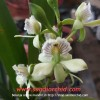 Encyclia radiata (berbunga)