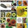 2R Sunflower Seeds
