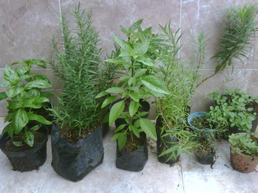 tanaman herbs