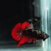 Jual Ikan Cupang Avatar Vampire Red Kota Tangerang Selatan Andrehehashop Tokopedia