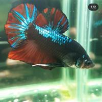 Jual Ikan Cupang Avatar Male Induk 120 Kota Medan Cupang Avenger Tokopedia