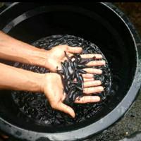 Jual ember ternak ikan / budikdamber ikan lele / ember ...