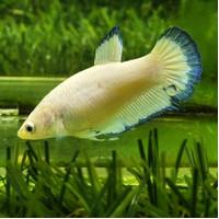 Jual Jual Ikan Cupang Hias Betina Female Plakat Blue Rim 03 Kota Tangerang Bettailhamlarangan Tokopedia