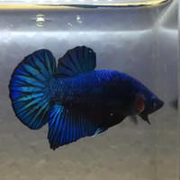 Jual Ikan Cupang Avatar X Black Samurai Top Grade Kab Tangerang Blessing Betta Farm Tokopedia