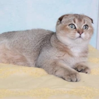 Harga Kucing Scottish Fold Travelbon.com