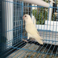 Love bird albino non klep