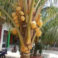 Pohon kelapa gading | suplier tanaman | tanaman hias | desain taman