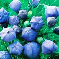 700 Benih Biji Bibit Balloon Flower