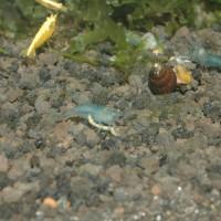 Blue pearl shrimp (udang blue pearl)