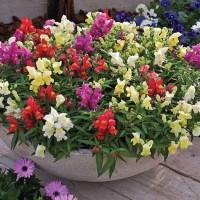 Benih / Bibit / Biji - Bunga Dwarf Snapdragon Flowers - IMPORT