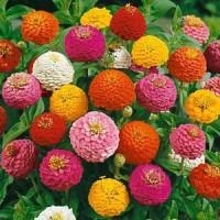 Benih / Bibit / Biji Bunga Zinnia Liliput Flowers - IMPORT