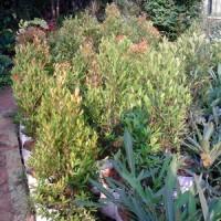 Pucuk merah (oleina syzygium) | suplier tanaman | tanaman hias