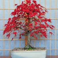 Benih Biji Bibit Japanese Red Maple for Bonsai