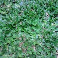 Tanaman rumput   suplier tanaman dan pembuatan taman