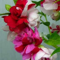 Benih / Bibit Bunga Pacar Air Warna-Warni (Impatiens Flowers) - IMPORT