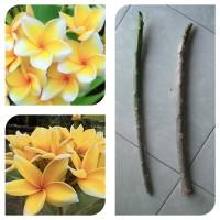 Bibit Stek Batang Kamboja Jepun Cendana - Cutting Frangipani