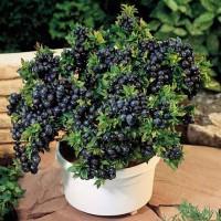 Benih / Bibit / biji Buah Blueberry