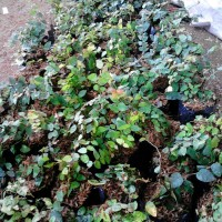 Jual tanman dolar   tanaman rambat   suplier tanaman