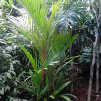 Suplier palm merah   jasa tanaman dan jasa tanam rumput