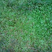 Rumput gajah mini   suplier tanaman dan penanaman rumput