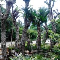 Kamboha fosill atau batang besar | suplier tanaman dan pembuatan taman
