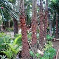 Palm australis   suplier tanaman dan pembuatan taman