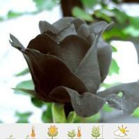 Mawar Hitam Import - Black Rose Seeds