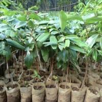 Bibit Kelengkeng Aroma Durian | Buah Kelengkeng Unik dan unggul
