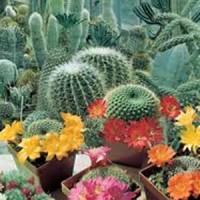 benih / biji / bibit Bunga - Cactus / Kaktus