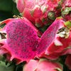 Benih / Bibit Buah Naga Merah (Red Dragon Fruit) - IMPORT