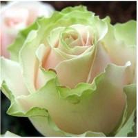 Benih Mawar Kombinasi Pink,Putih,Hijau / Dancing Queen Rose (Import)