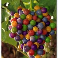 Benih / Bibit Buah Anggur Pelangi (Colorful Rainbow Grapes Seeds) - IMPORT